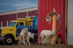 RONAN DONOVAN/NATIONAL GEOGRAPHIC MAGAZINE | Une famille de loups arctiques passe devant le squelette d'un boeuf dans une base militaire canadienne