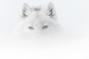 VINCENT MUNIER | Loup de l'Arctique au milieu du brouillard dans l'île canadienne d'Ellesmere, Nunavut